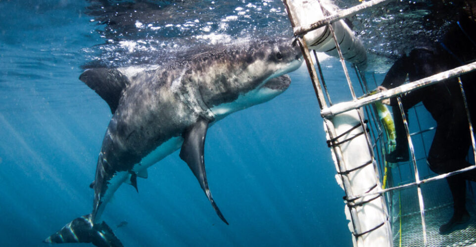 Six Interesting Facts About Great White Sharks in Gansbaai