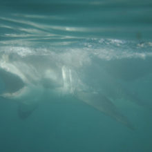 Great White Sharks Disappearing in Cape Town