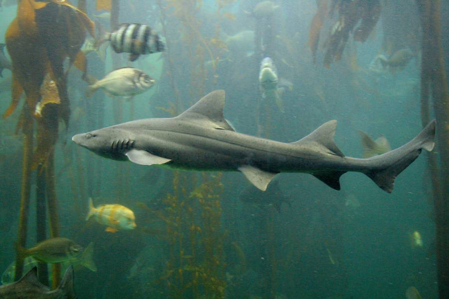 Spotted Shark